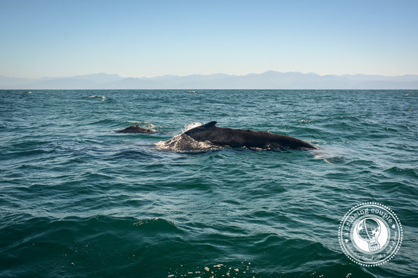 3 Reasons Why You Need to Visit Punta de Mita, Mexico  - Humpback Whale