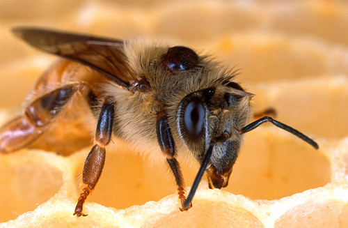 The black dot on this honey bee is a varroa mite--a parasite that sucks vital fluids like a tick, although it also acts like a mosquito transmitting viruses and other pathogens to the bee.