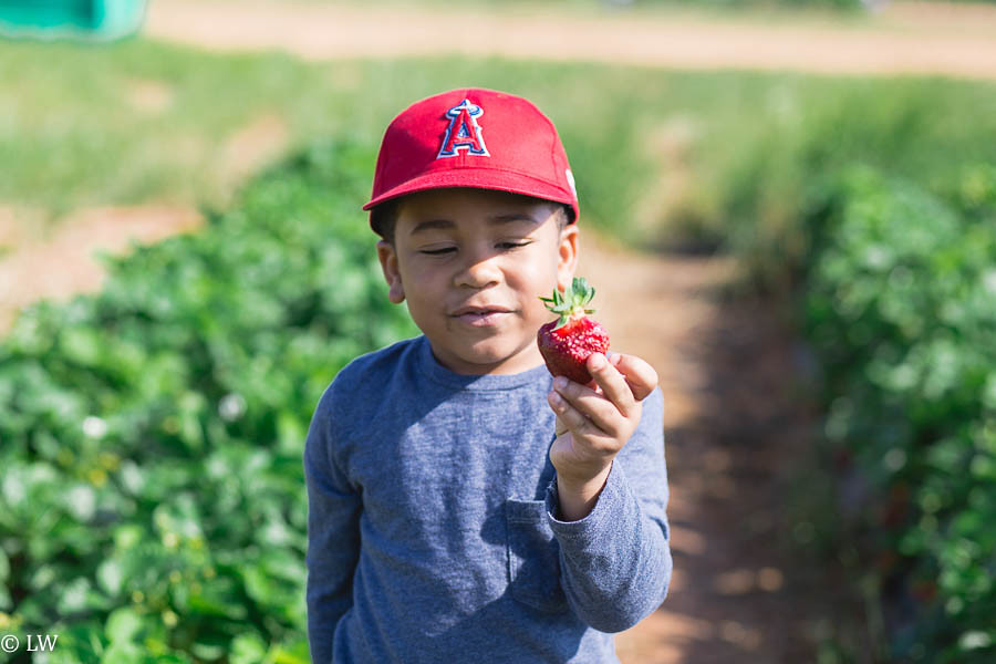 southern belle farm strawberries-12