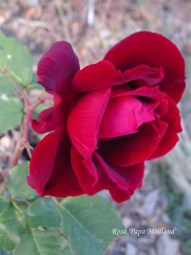 Rosa 'Papa Meilland'