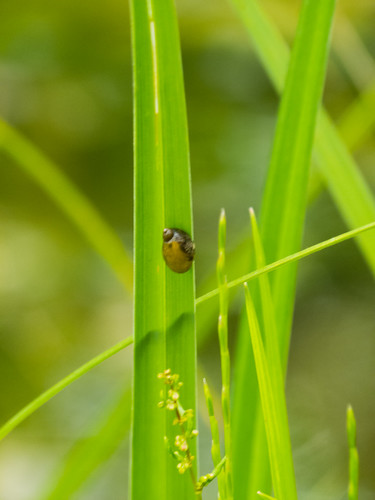 Water snail on a reed leaf