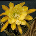 Epiphyllum Going Bananas by DonCrain