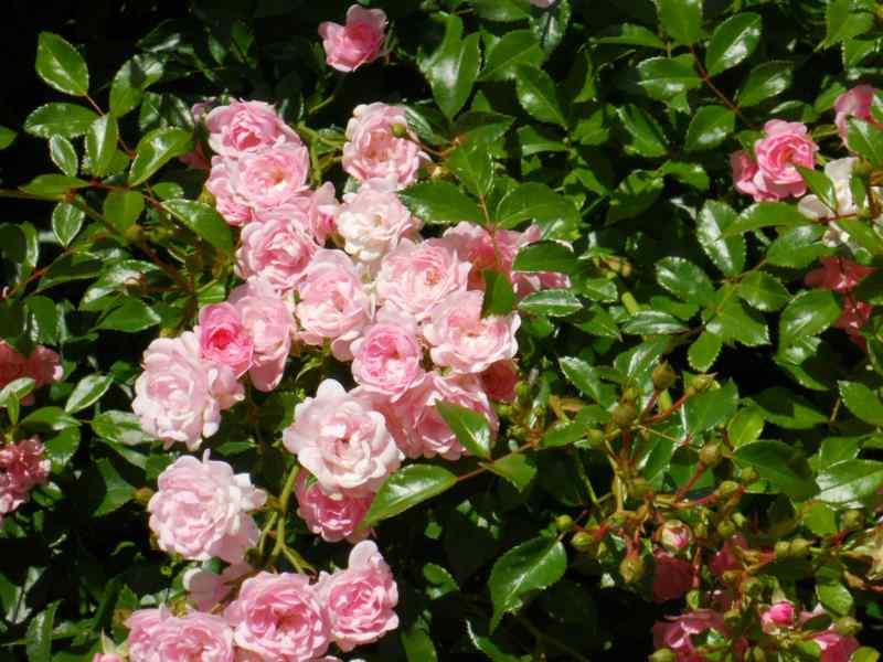 Rosal miniatura 1
