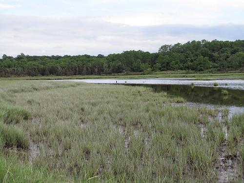 像美國馬薩諸塞州梅島口的互花米草沼澤(Spartina)這類的低海拔濕地,經常因潮汐而淹沒,並產生沉澱物,也使沼澤以很快的速度(每年約5-10毫米)形成。(圖:sandy richard。)