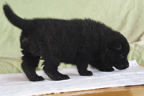 Ayu-Litter1-Day30-Puppy5-Male-b