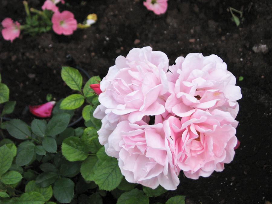 esta es la autentica rosa,, IMG_1807