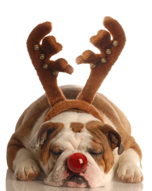 english bulldog dressed as rudolph the red nosed reindeer | Flickr ...