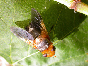 Tachinid Fly  EC