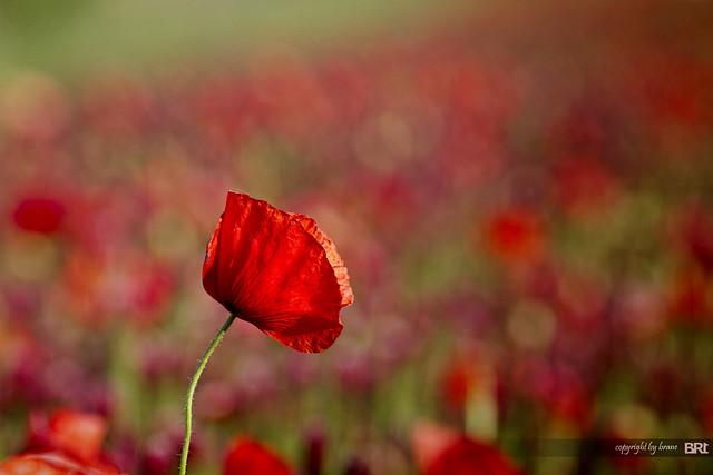 field_poppy