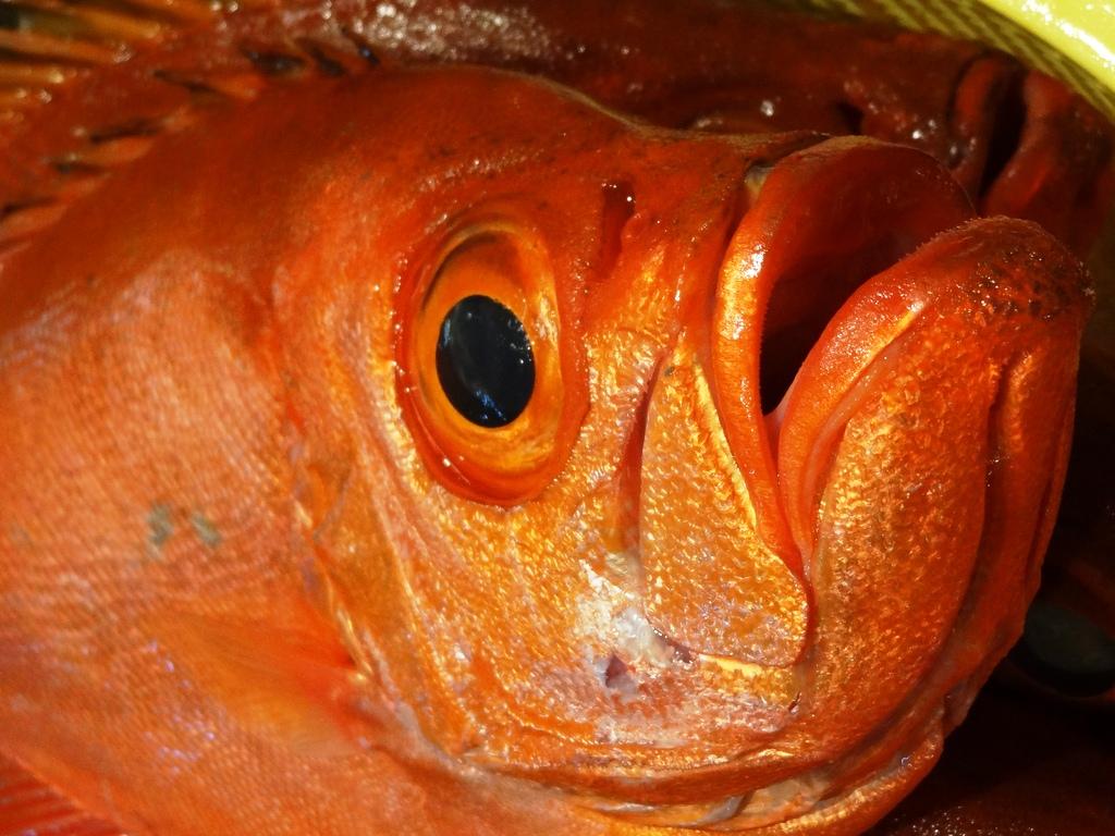紅目鰱擁有招牌的大眼睛、大嘴巴,主要棲息在熱帶、亞熱帶地區較深的岩礁區。