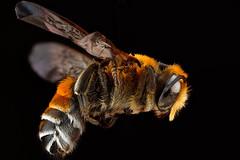 [フリー画像素材] 動物 2, 昆虫, 蜂・ハチ, ミツバチ ID:201206190400