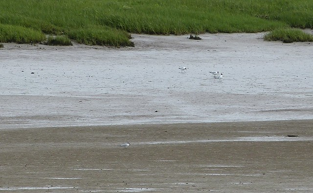 P1010435 - Gull-billed Tern, Loughor Bridge