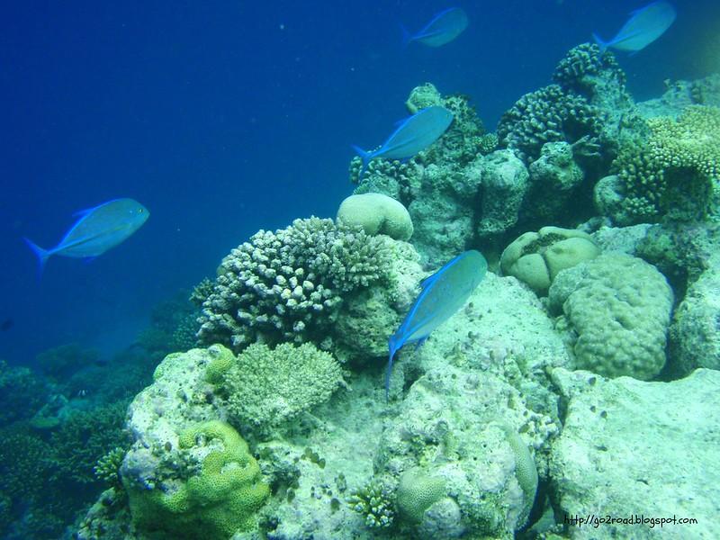 Стая рыб тунцовых