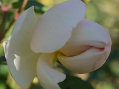 日, 2010-11-07 14:04 - New York Botanical Garden (Bronx) ブロンクスの NY植物園 薔薇