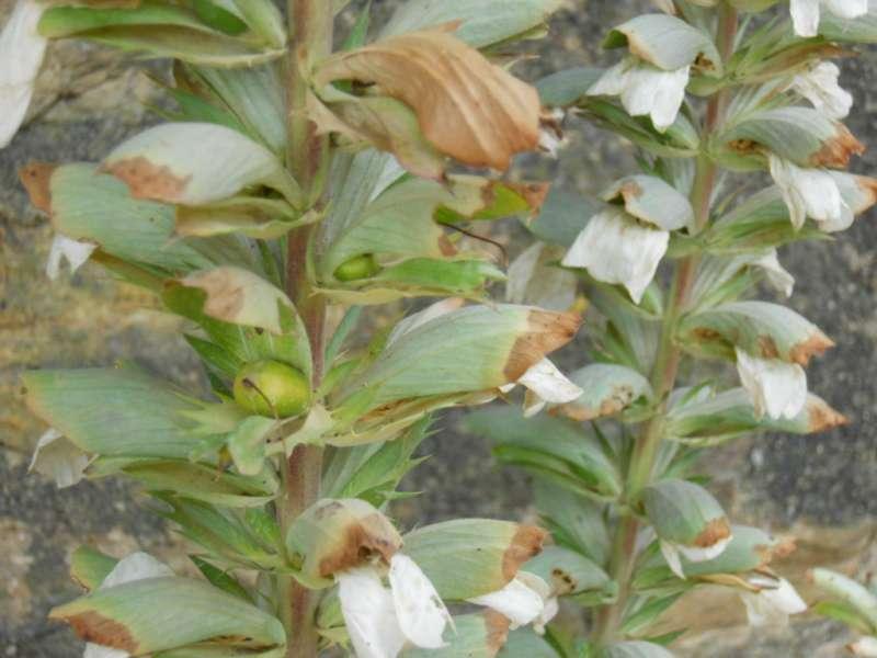 Acanthus spinosus 2