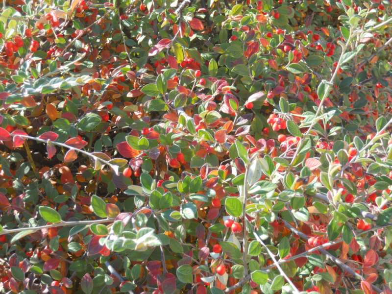 Jardineros en acci n cotoneaster wardii for Planta decorativa toxica