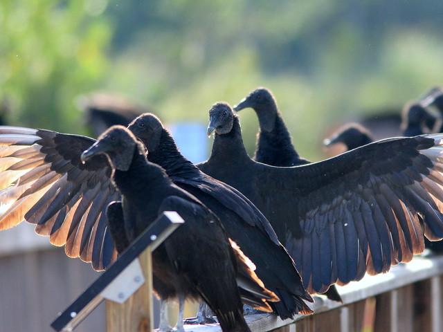 Black Vultures 20101129