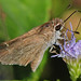 Dun Skipper - Photo (c) Jerry Oldenettel, some rights reserved (CC BY-NC-SA)