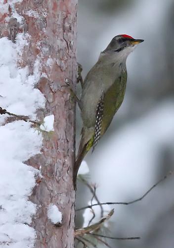 Gråspett - Grey-headed Woodpecker - Picus canus