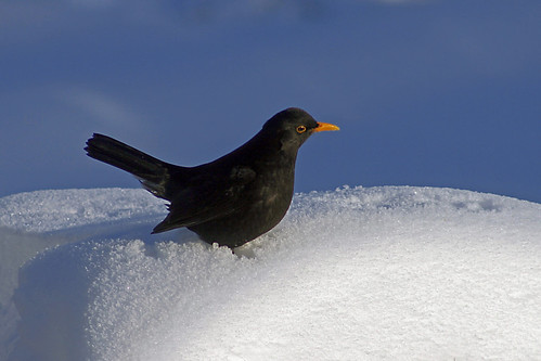 Blackbird. Snow. Nothing else...