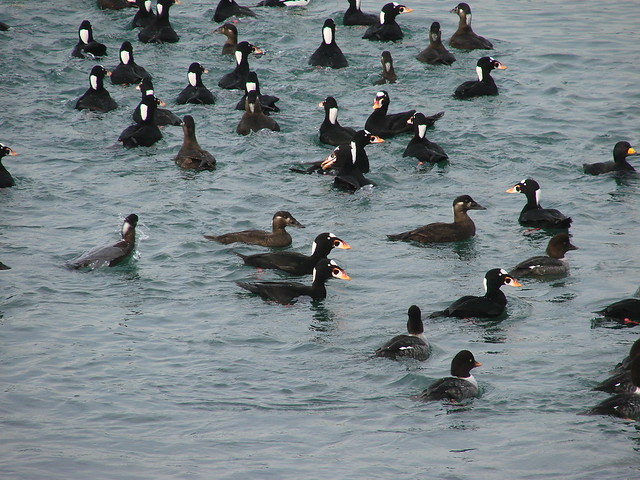 Barrow's Goldeneye Surf Scoter