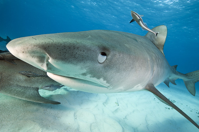 Eyes roll back on a Tiger Shark at Tiger Beach in the Bahamas