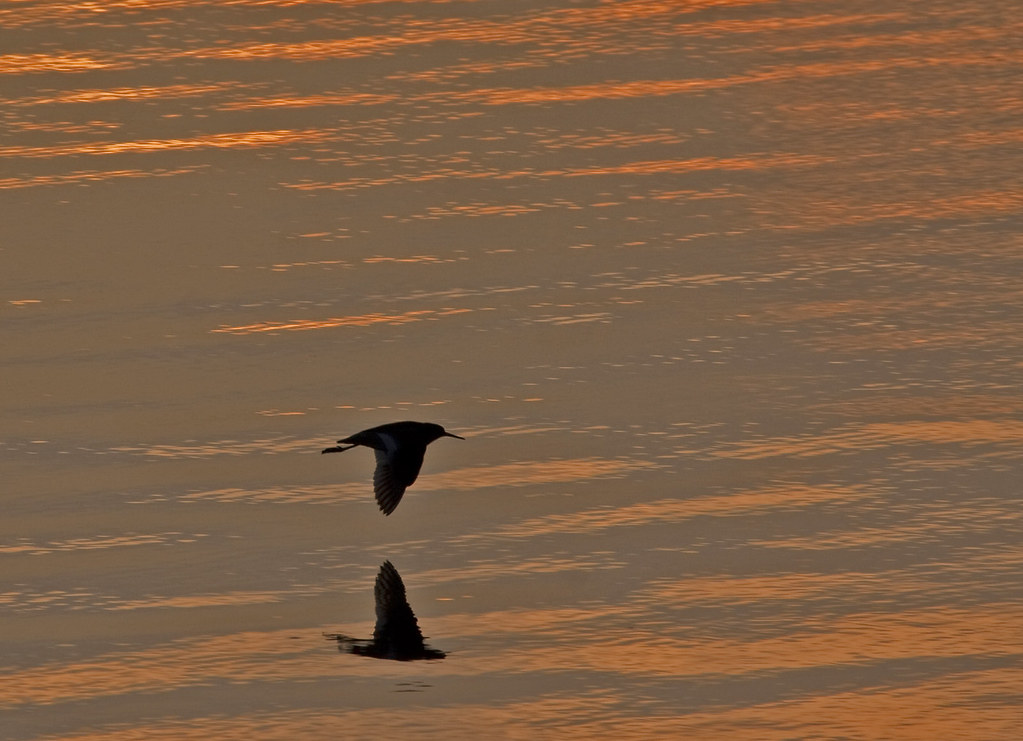 Redshank at Sunset