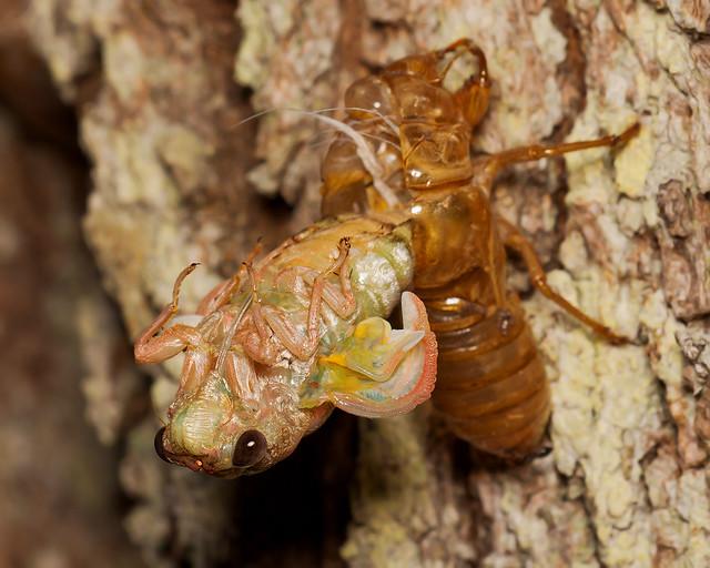 Emerging Adult Cicada #4