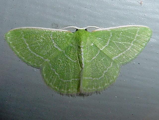 Synchlora aerata - Wavy-lined Emerald
