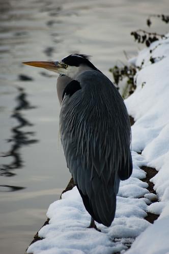 Heron on a snowy towpath