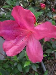 annual plant, flower, plant, flora, pink, petal, azalea,