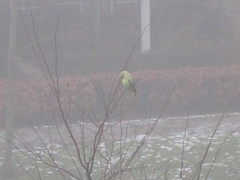 Winterharde papegaai