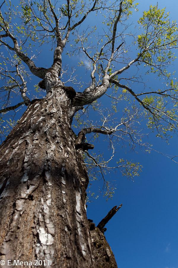 Cedro Amargo, (Cedrela odorata) Cóbano, Puntarenas, Costa Rica