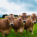 Bavarian cows posing. by That Photo Taker