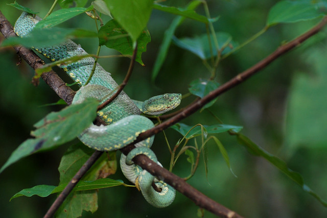 Two-striped Forest Pit Viper