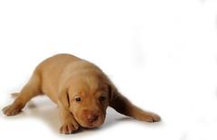 dog breed(1.0), labrador retriever(1.0), nose(1.0), animal(1.0), puppy(1.0), dog(1.0), pet(1.0), mammal(1.0), vizsla(1.0),