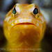 Yellow Jawfish with Green Eyes by Tony Wu Underwater Photography