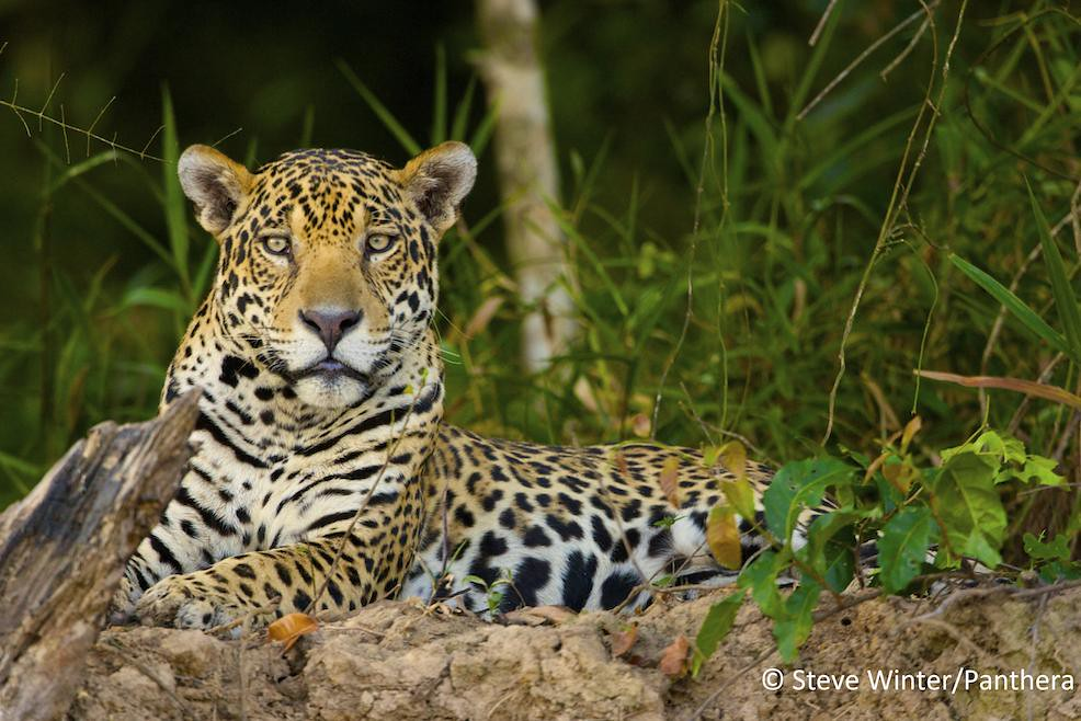 Jaguar resting on a riverbank - Brazilian Pantanal