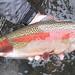 A Huge Lower McKenzie River Wild Rainbow Trout