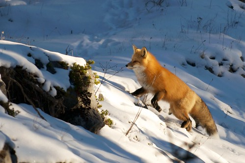 Red Fox at Maligne Canyon