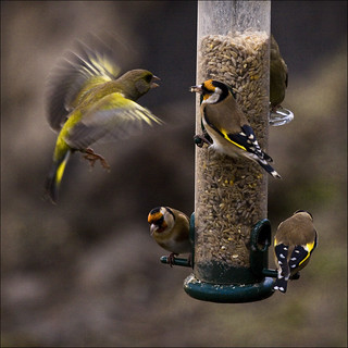 well i like the greenfinch, but then i like the goldfinch, but which is better? only one way to find out . . . fight !