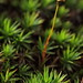 haircap moss - Photo (c) Hermann Falkner, some rights reserved (CC BY-NC)