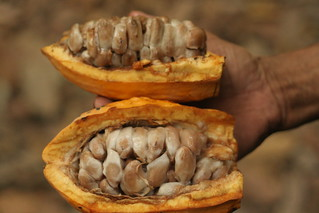 Cocoa pods - Photo by Rob Goodier