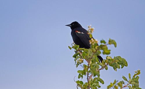 Red-winged Blackbird (Agelaius phoeniceus) Rödvingetrupial
