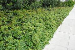 Mahonia Aquifolium Compactamass Mature Compact Orgeon G