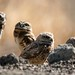 burrowing owls dave harper oakley