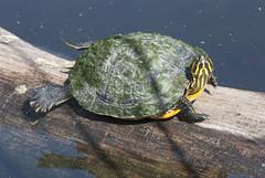 animal, turtle, box turtle, reptile, marine biology, green, fauna, emydidae, wildlife,
