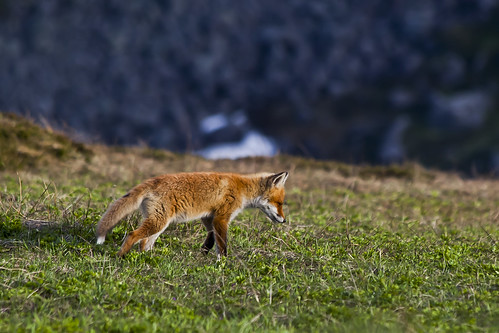 Mountain fox on the prowl