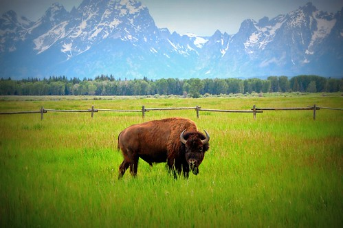 Buffalo in Grand Teton.  Photo © flickr user: bethmax.