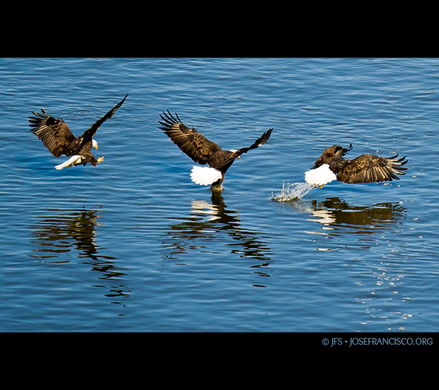 Bald Eagle Catching Fish http://www.flickr.com/photos/josefranciscosalgado/5351482580/